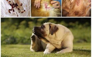 Почему собака чешется, если нет блох: список возможных причин