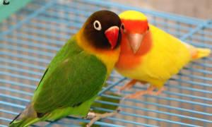 Всё о размножении попугаев неразлучников для заводчиков