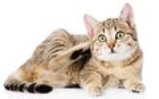 Дипилидиоз у кошек — заражение огуречным цепнем