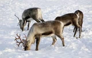 Животный мир в арктической пустыне