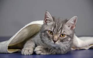 Признаки глистов у котенка