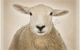 Овцы мясной породы: южная мясная порода овец