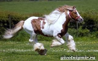 Порода лошадей: шайр – самые крупные английские тяжеловозы