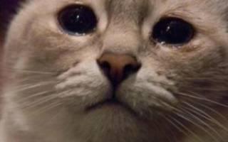 У кошки слезятся глаза: основные причины, признаки, лечение