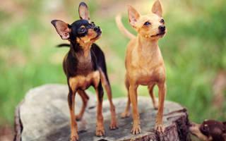 Самые неприхотливые породы собак