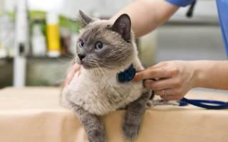 Пневмоторакс у кошек: причины, диагностика, лечение