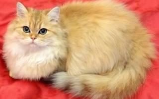 Британская кошка хайлендер: особенности