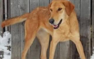 Виды и породы гончих собак