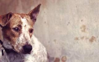 Чумка у собак (болезнь Каре, чума плотоядных)