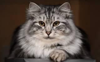 Отрубевидный лишай у кошек: диагностика, лечение, профилактика