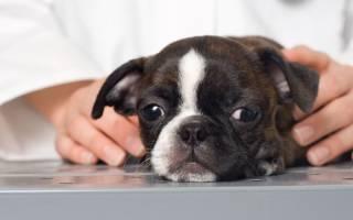 Желтый понос у щенка: причины, лечение