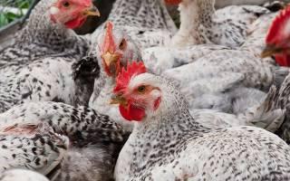 Курица Мастер Грей: описание породы