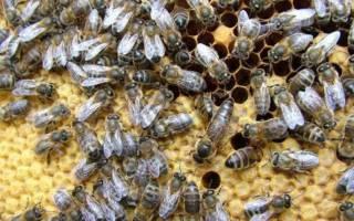 Виды пчел: сколько видов пчел производят мед