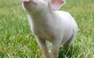 Беконный откорм свиней на мясо
