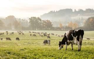 Суточный рацион коровы: расчет рациона
