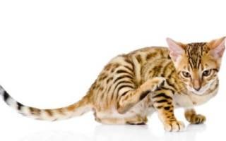 Атопический дерматит у кошек: общие сведения, диагностика, лечение