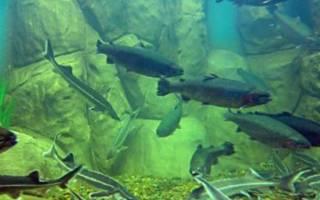 Семейство осетровых рыб: обзор, описание