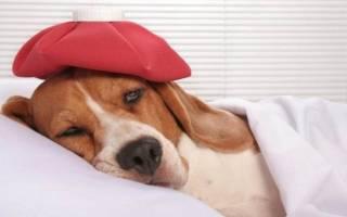 Песок в мочевом пузыре у собаки: причины, диагностика, лечение