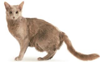 Порода кошек яванская: описание