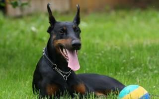 Лучшие охранные породы собак