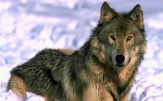 Самый сильный волк