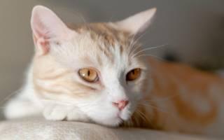 Опухоль мозга у кошек — признаки и симптомы заболевания