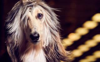 Афганская борзая: собаки