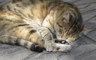 Гангрена у кошек — причины, виды и признаки