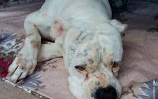 Судороги у собаки: причины и лечение
