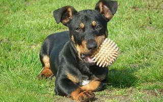 Почему собака скрипит зубами: причины и последствия бруксизма