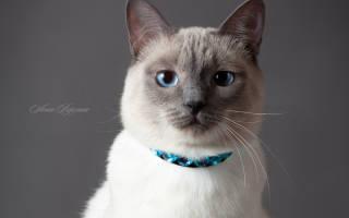 Характер тайских кошек: мифы и реальность