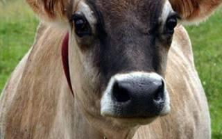 Джерсейская корова: характеристики породы