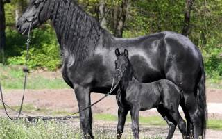 Беременность лошади и ее признаки