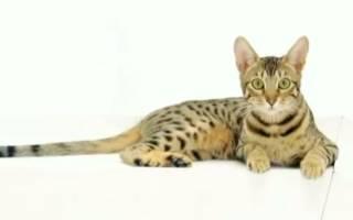 Самые редкие породы кошек на планете