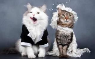 Как происходит вязка кошек