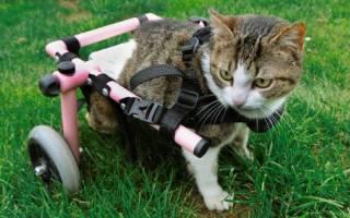 Слабость в задних лапах у кошек: причины тяжелого состояния