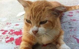 Маточное кровотечение у кошки: причины, симптомы, лечение