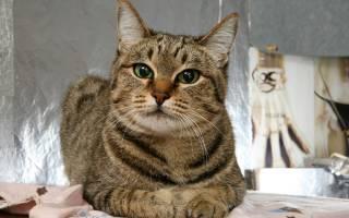 Пробиотики для кошек: говорим о способах нормализации микрофлоры