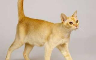 Цейлонская кошка — интересные факты о породе