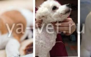 Коллапс трахеи у собаки: основные сведения, лечение и правила реабилитации