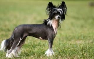 Как и чем кормить Китайскую хохлатую собаку: общие советы и рекомендации