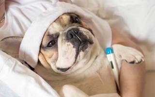 Как понять, что у собаки температура, что является нормой, а что отклонением