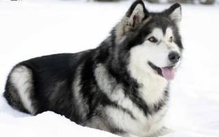 Порода собак маламут: упорство и труд – все довезут!