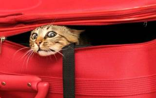 Как вывести кошку за границу