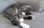 Анемия у кошек и котов