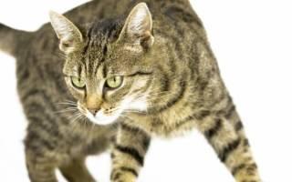 Хейлетиеллез (бродячая перхоть) у кошек — поражение кожным клещём