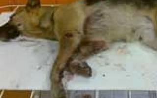 Рваная рана у собаки: лечение, возможные риски и осложнения