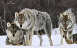 Породы волков