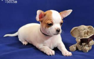 Мода на содержание декоративных собачек: две стороны одной медали