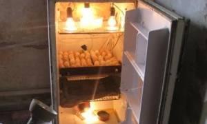 Выращивание цыплят после инкубатора: советы опытных птицеводов